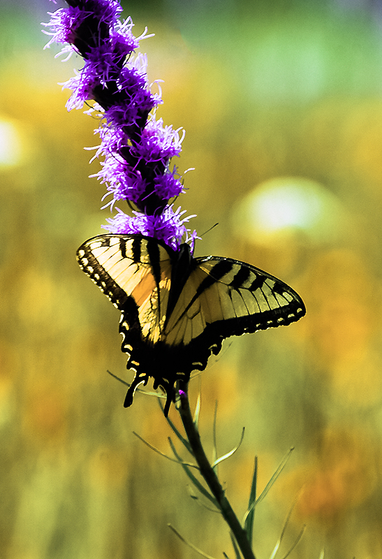 Summer Butterfly by Enialaine