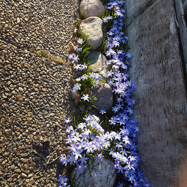 the blue flowers by sensiblelychee