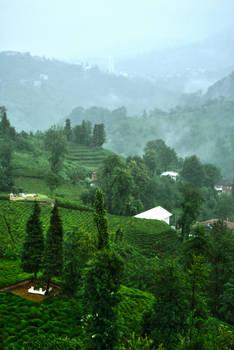 Fog On The Tea Fields 2.