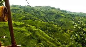Tea Fields In Azaklihoca Village. by bigzoso