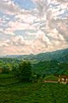 Tea Fields In Azaklihoca Village 3.