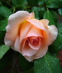Apricot Nectar by redmatilda