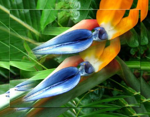 Birds of Paradise III