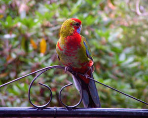 Young Rosella