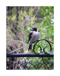 Young Butcher Bird