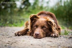 Rafael, the chocolate dog :) by aussiefoto
