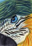 Parrot ACEO