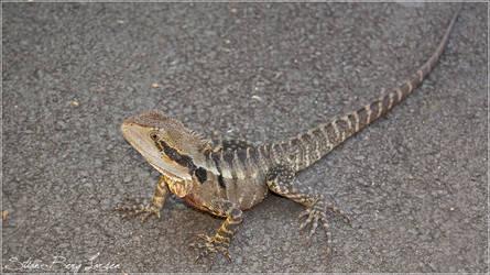 Random lizard