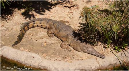 Crocodile - 1