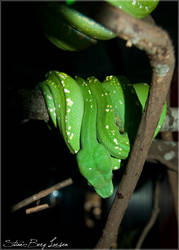 Green snake - 2 by Stianbl
