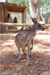 Kangaroo - 1 by Stianbl