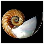 Nautilus Siphuncles by Krakentastic