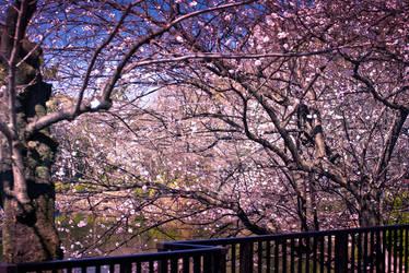 Sakura Cherry Blossoms