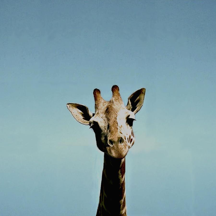 Giraffe Tumblr