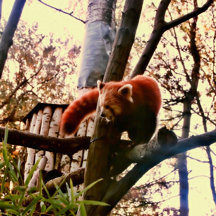 Red panda by CocoaDesert