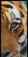 Siberian Tiger Detail