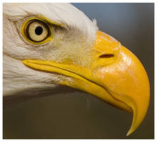 Bald Eagle - Detail by Wolfy2k4