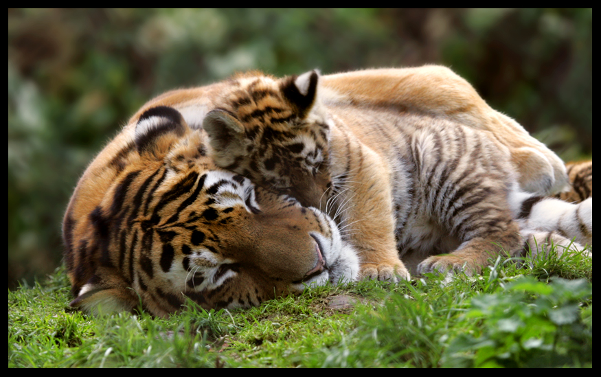 Encyclopaedia of Babies of Beautiful Wild Animals: Tiger Cubs