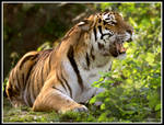 Siberian Tiger 5