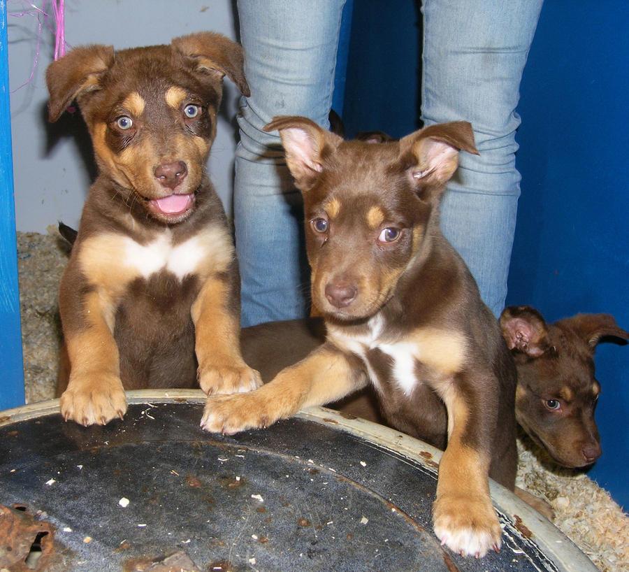Sweet Dogs Wallpaper Kelpie Puppies by Digi...
