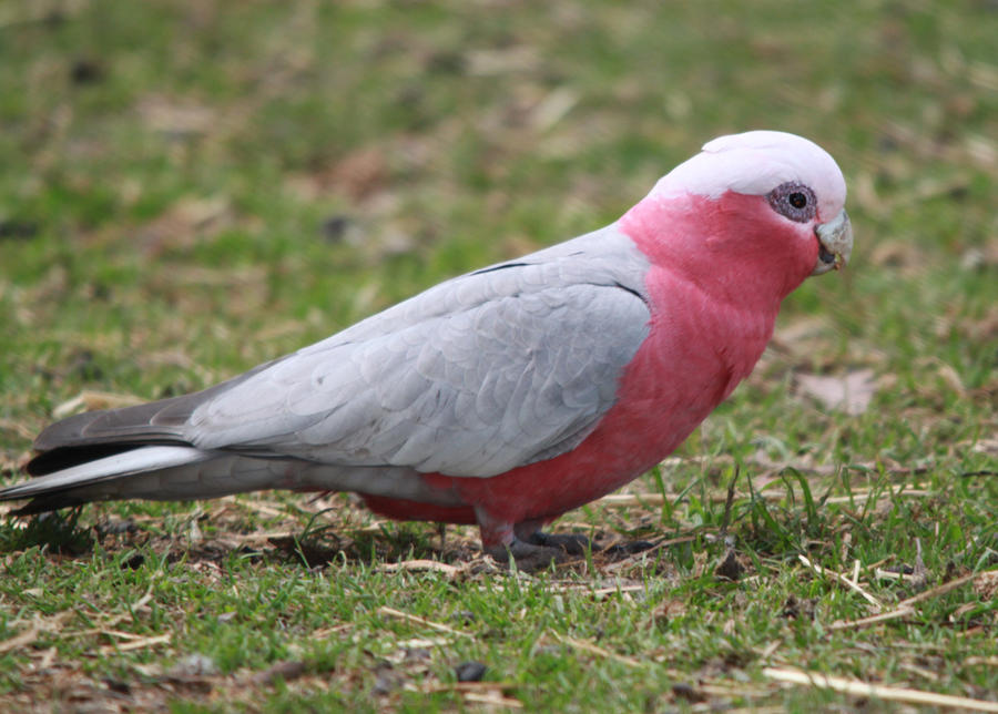 Galah by Digimaree
