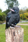 Young Raven 6