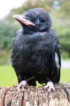 Young Raven 5