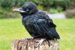 Young Raven 4