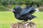 Young Raven 3