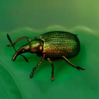 2011031 another beetle