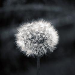Dandelion by g30dud3