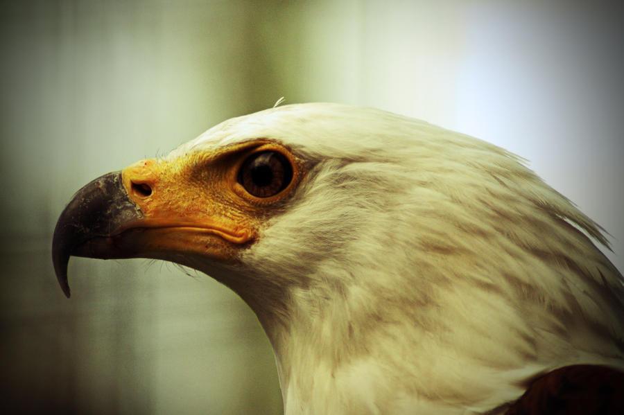 Proud Eagle by Adam-F