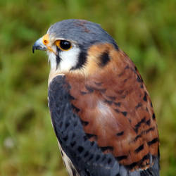 Falco Sparverius by Adam-F