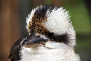kookaburra by Adam-F