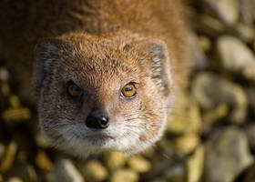 Mongoose by Yslen
