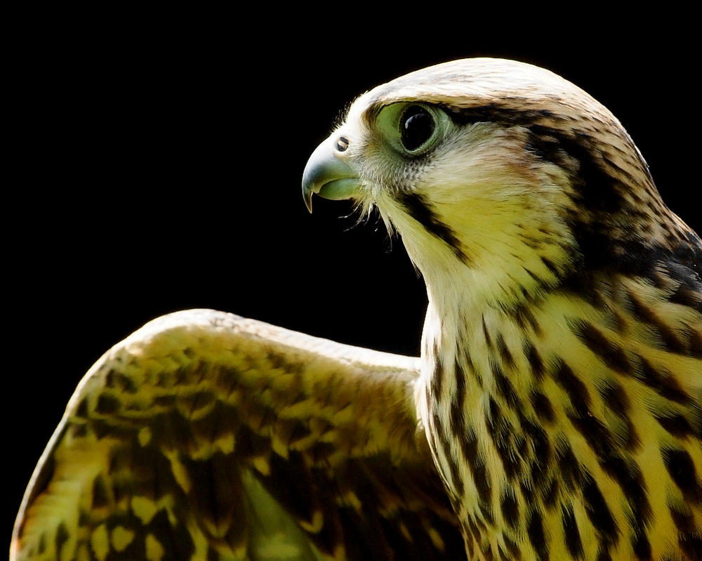Lanner Falcon by Yslen