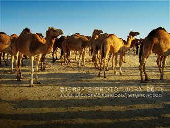 Bahrain Camel by jerahmeel2002