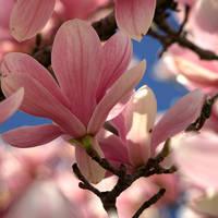 magnolia by themorgoth
