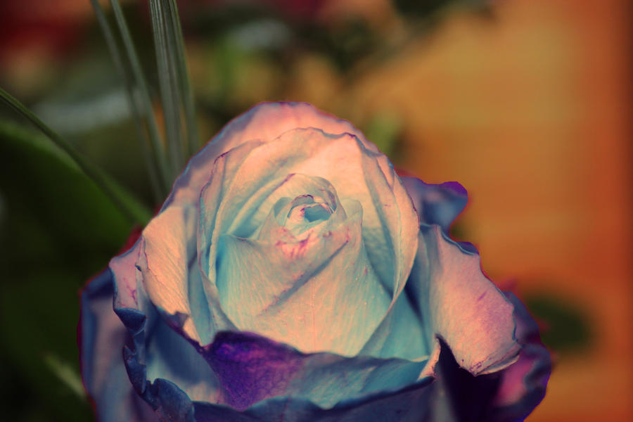 Beautiful Rose by Silvermoonswan
