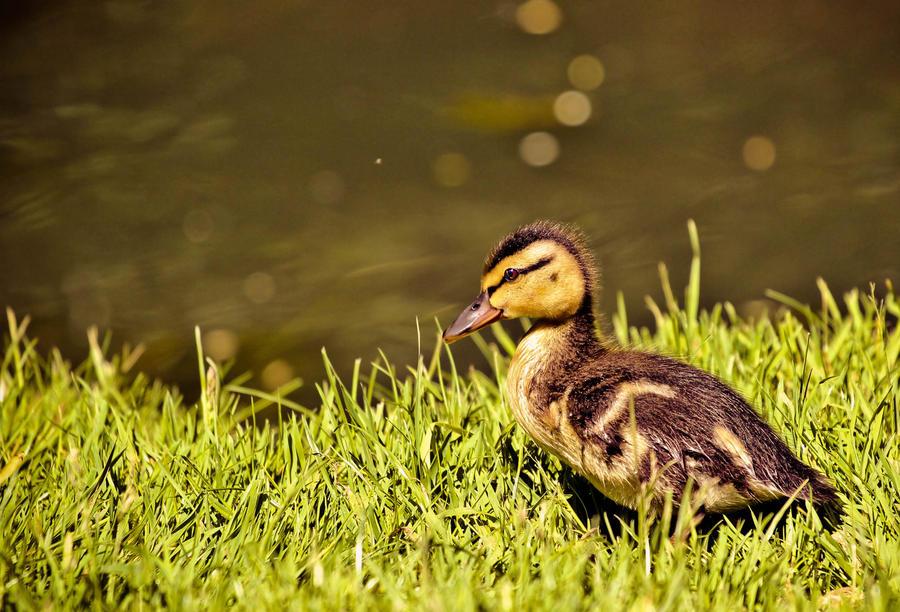 Little Duck by Silvermoonswan