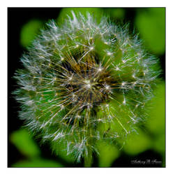 Dandelion A1