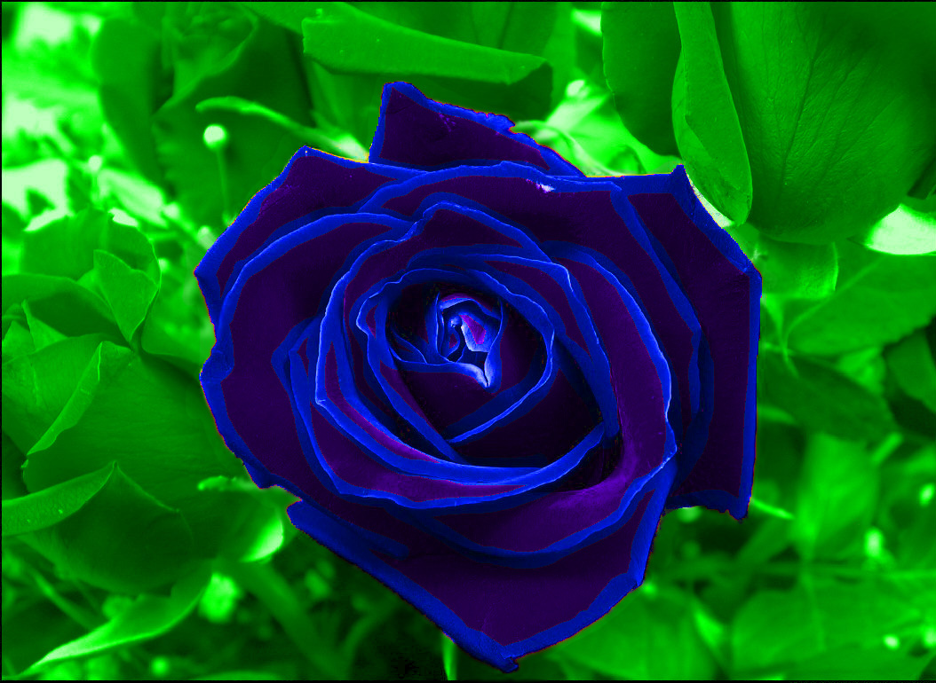 blue purple rose by gothsk8terhateme on deviantart