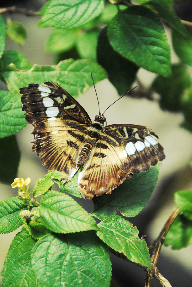 Butterfly by arsidoas