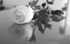 Rosas blancas by Wesche