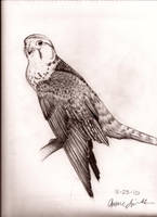 Peregrine Falcon by AntiquedGarden