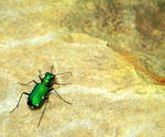 Awesome Tiger Beetle