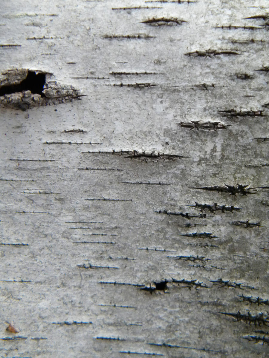 Birch texture by stock on deviantart