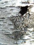 Birch Texture 2