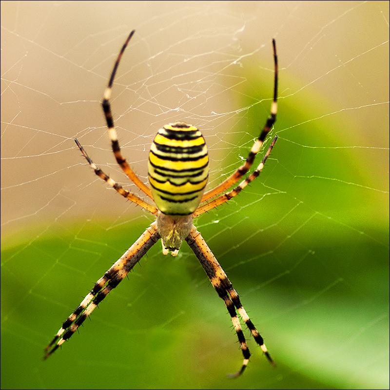 полосатые пауки фото и название