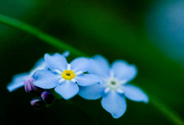 Forget me not by Arianezomg